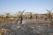 Burnt palm tree plantation. Fire damage to a grove of date palm trees