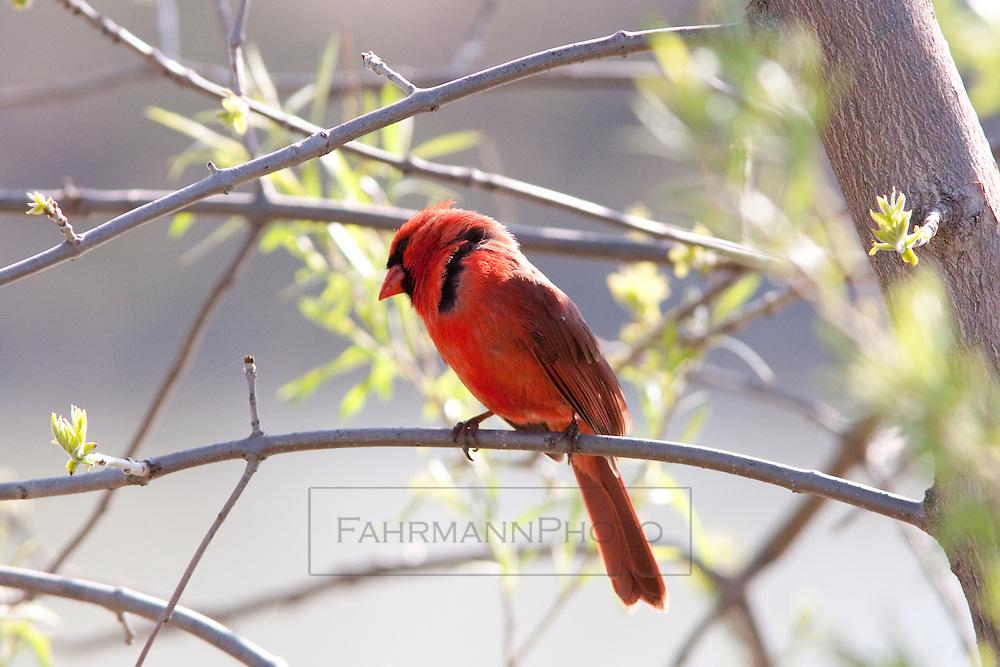 A Cardinal rests on a branch near Lake Nokomis