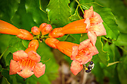 Trumpet Vine - Campsis radican flowers with a bumblebee on the outside of one of the flowers