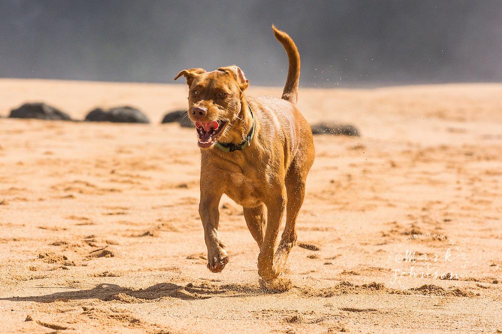 Dog running on the beach in Hawaii