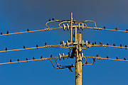 Starlings perched on power lines in the Napa Valley, California, United States of America