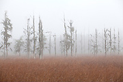 A heavy morning fog encases the cypress trees