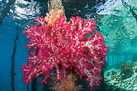 Vibrant Soft Coral under a Jetty.Shot in West Papua Province, Indonesia