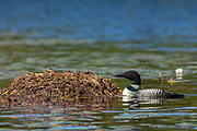 A common loon tends to a nest on Trout Lake in the Northwoods village of Boulder Junction, Wisconsin.