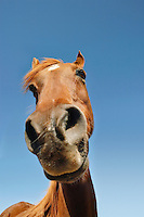 Brown horse against clear sky low angle view close-up of snout