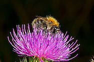 Common Carder Bee - Bombus pascuorum on Spear Thistle.