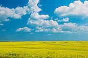 Canola and clouds<br /> Foam Lake<br /> Saskatchewan<br /> Canada