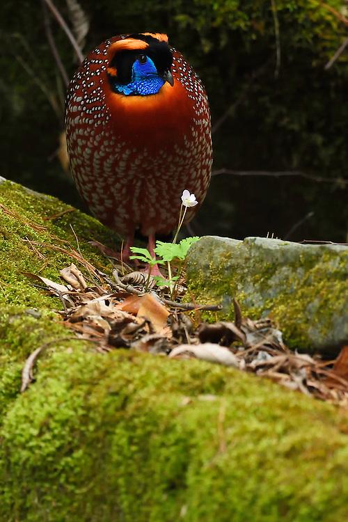Temminck's tragopan, Tragopan temminckii, Tangjiahe National Nature Reserve, NNR, Qingchuan County, Sichuan province, China