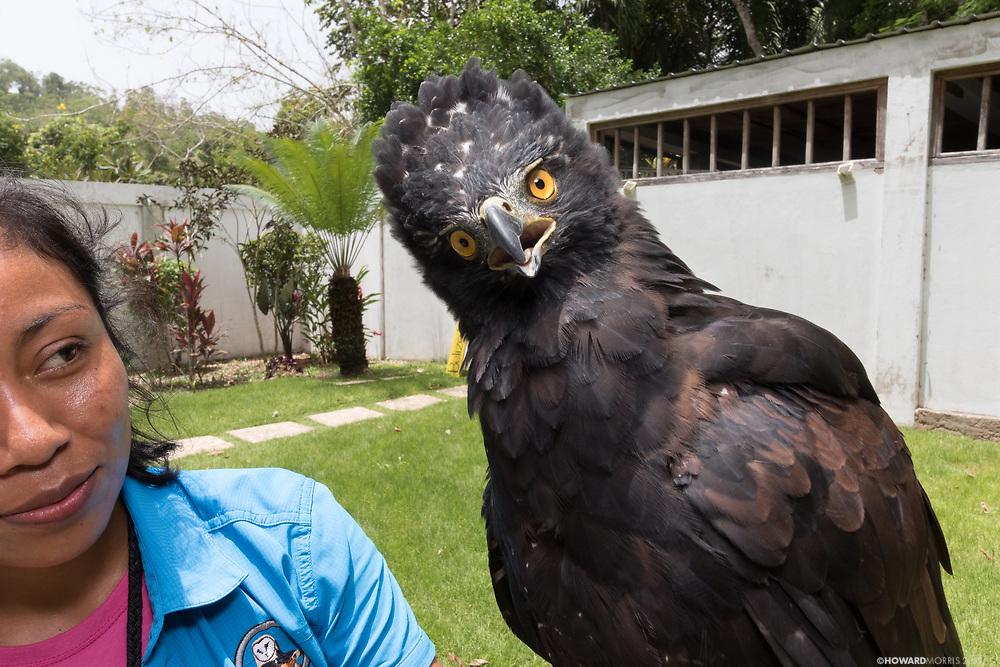 Black Hawk Eagle (Spizaetus tyrannus) Akna, sounds a warning to the camera. Belize Raptor Center, Belize.