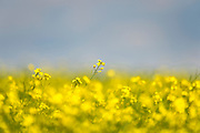 Fields of Canola Flowers near Grande Prairie, AB