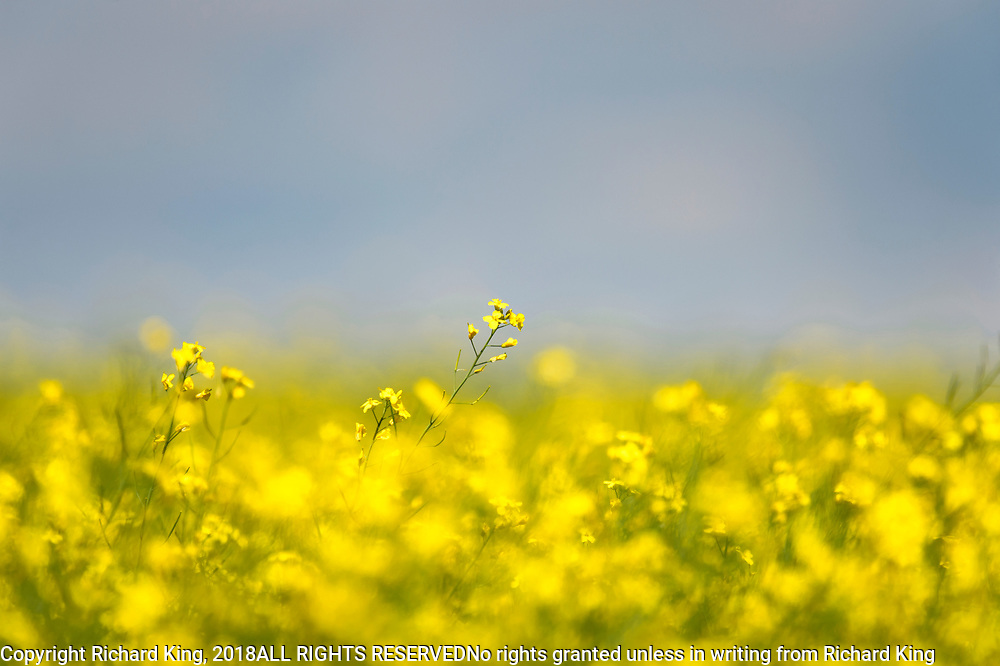 Fields of Canola Flowers near Grande Prairie, AB