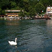 Un cigno sul fiume Adda a Imbersago vicino al traghetto di Leonardo da Vinci...A white swan on the Adda at Imbersago near the ferry of Leonardo da Vinci.