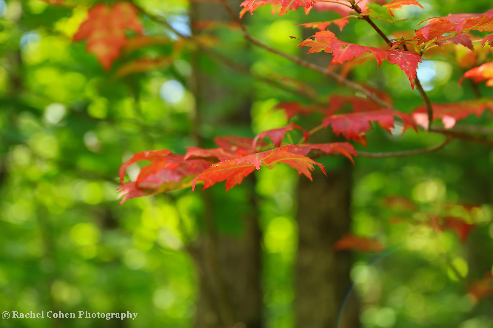 &quot;Tip in Red&quot;<br /> <br /> A delightful bokeh filled image with lovely red maples in the foreground!!<br /> <br /> Fall Foliage by Rachel Cohen