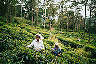 Women harvest leaves at a tea plantation in the hills of Ella, Sri Lanka, Asia