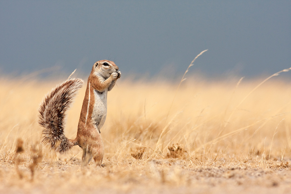 Portrait of a South African Ground Squirrel standing up and  looking at the camera.  Deception Valley, Botswana 2008.