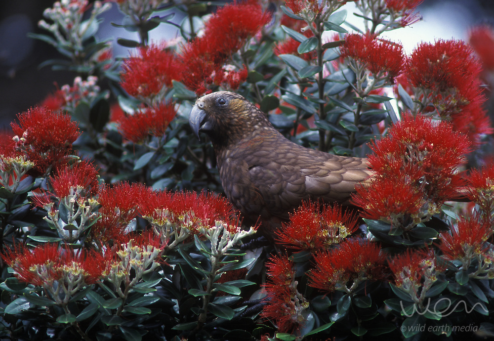New Zealand's native forest parrot, the kaka, feeds on the nectar of pohutukawa flowers at Little Barrier Island (Hauturu) Nature Reserve.