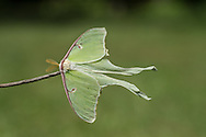 Luna Moth Lake Placid NY