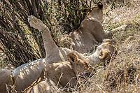 Lion in the Masia Mara, Kenya.