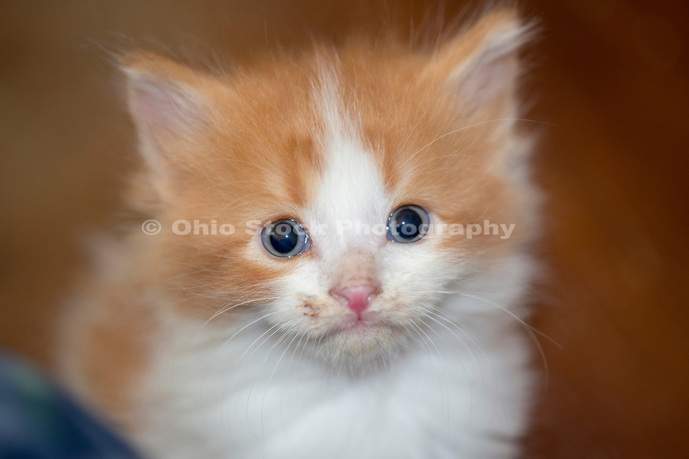Domestic Longhair ginger kitten. Columbus, Ohio, USA. May 2014