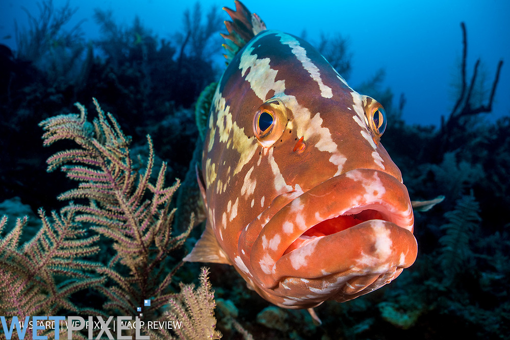 A portrait of a Nassau grouper (Epinephelus striatus) on a coral reef. Jardines de la Reina, Gardens of the Queen National Park, Cuba. Caribbean Sea.