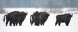 Kudde Wisenten in de sneeuw op open vlakte; European Bison in snow