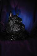 Studio shot of a Scottish Terrier pedigree dog
