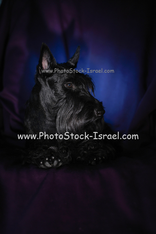 Studio shot of a Scottish Terrier pedigree dog
