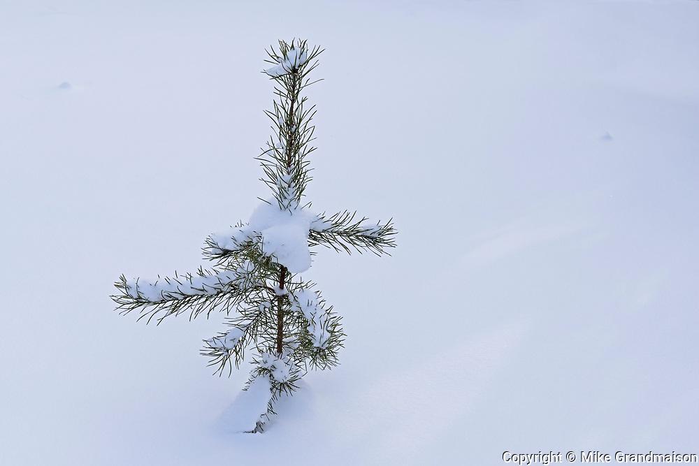 Jack pine (Pinus resinosus) sapling in snow, Belair Provincial Forest, Manitoba, Canada