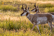 Pronghorn antelope at The National Bison Range in Moiese, Montana, USA
