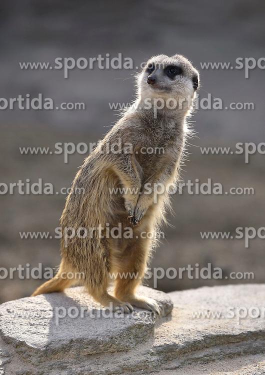 THEMENBILD - Das Erdm&auml;nnchen (Suricata suricatta), auch Suricata oder veraltet Scharrtier genannt, ist eine S&auml;ugetierart aus der Familie der Mangusten (Herpestidae). Erdm&auml;nnchen leben in trockenen Regionen im s&uuml;dlichen Afrika. Sie leben in Gruppen von vier bis neun Tieren mit ausgepr&auml;gtem Sozialverhalten und ern&auml;hren sich vorwiegend von Insekten. Sie z&auml;hlen nicht zu den bedrohten Arten. // The meerkat (Suricata suricatta) live in dry regions in southern Africa. They live in groups of four to nine animals with a strong social behavior and feed primarily on insects. They are not an endangered species, pictured in Stuttgart, Germany on 2015/03/08. EXPA Pictures &copy; 2015, PhotoCredit: EXPA/ Eibner-Pressefoto/ Weber<br /> <br /> *****ATTENTION - OUT of GER*****