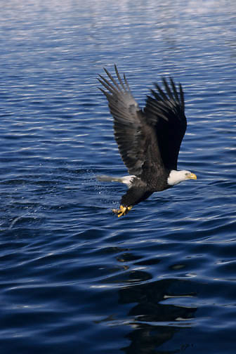Bald Eagle (Haliaeetus leucocephalus) adult fishing in Alaska.