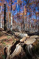 Stump of cut Common beech (Fagus sylvatica) tree inside the Tarcu Mountains Natura 2000 site. Southern Carpathians, Munții Ṭarcu, Caraș-Severin, Romania.