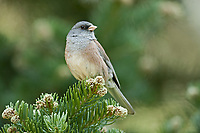 Dark Eyed Junco on the branch ends of a pine tree in the northern Utah Mountains.