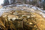 Rainbow Smelt<br /> <br /> Sean Landsman/Engbretson Underwater Photography