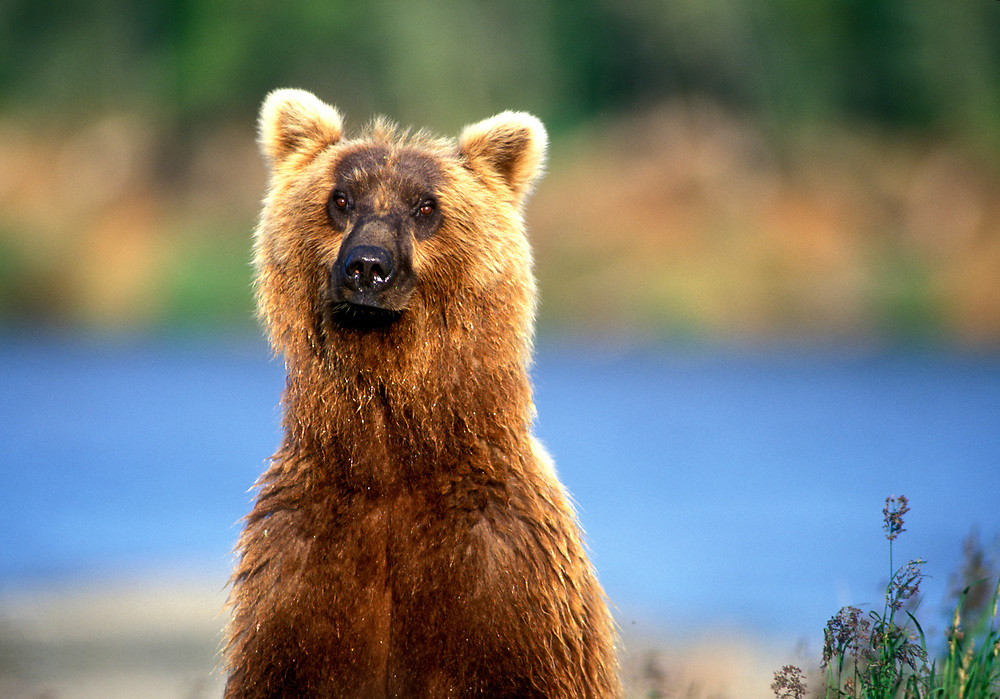 USA, Alaska, Katmai National Park, Grizzly Bear (Ursus arctos) stands erect along Brooks River on summer evening
