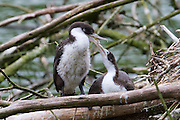 Two fledgeling pied shags (also known as pied cormorant, Karuhiruhi or yellow-faced cormorant) interact near their nest in Zealandia, Wellington, New Zealand.