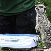 Meerkats Annual weigh in at ZSL London Zoo on 23 August 2018, London, UK.