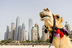 camel on beach at Marina district of New Dubai in United Arab Emirates