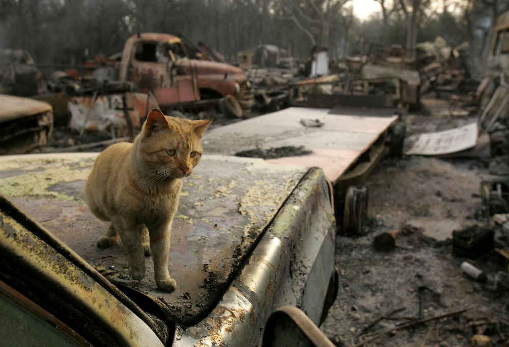© 2005 Alex Jones www.alexjonesphoto.com..A cat sits in a burned salvage yard on Wednesday, December 28, 2005 in Cross Plains, Texas.  The town was heavily damaged by an uncontrolled grass fire on Tuesday, one of many in the state.