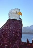 Bald Eagle (Haliaeetus leucocephalus) near Homer, Alsaka.