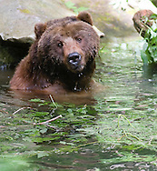 Grizzly Bear swimming in McDonald Creek located in Glacier national Park. Grizzlies are also called Brown Bear, Alaskan Brown Bear or Kodiak Bear. Grizzly bear's scientific name is Ursus arctos.