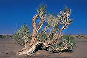 Saksaul forest<br /> (Haloxylon ammodendron)<br /> Gobi Desert<br /> Mongolia