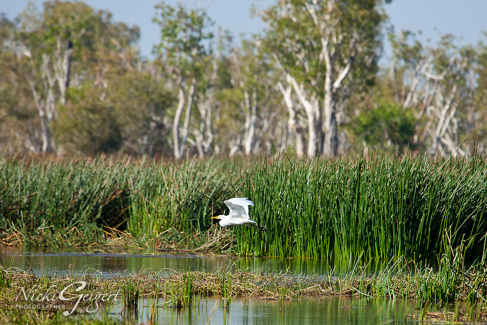 Great Egret flying low over a marsh in Yosemite. Wildlife and nature photography wall art. Fine art photography prints for sale.