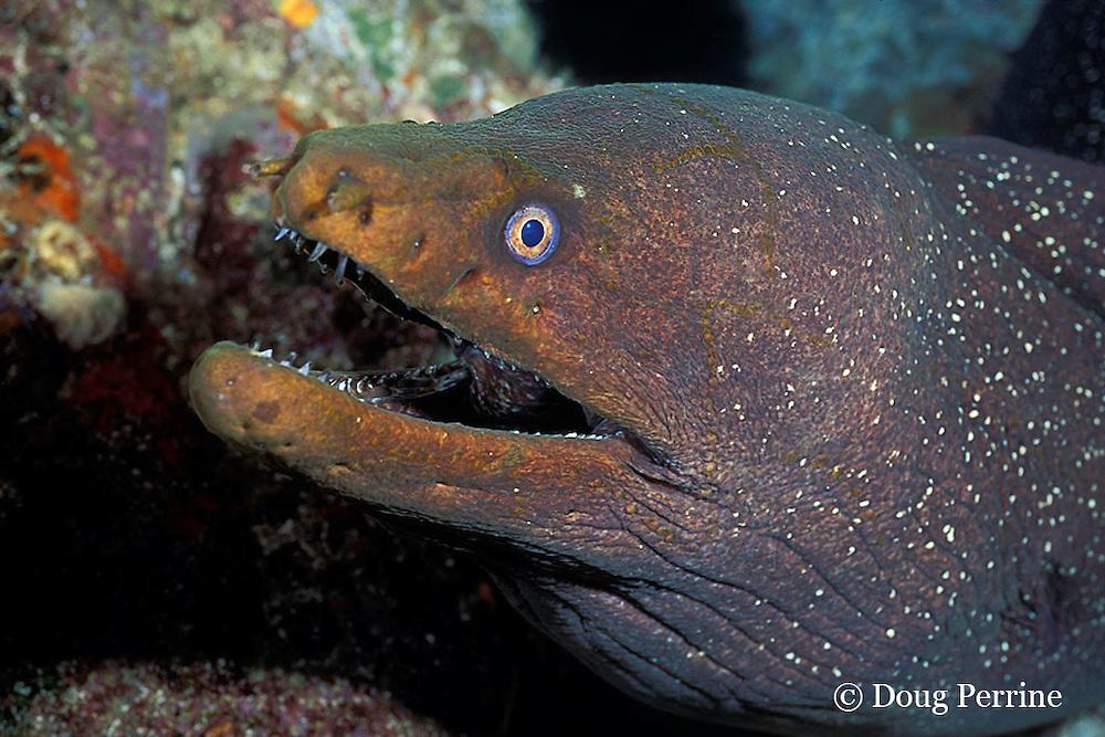 fine-spotted moray eel, Gymnothorax dovii, Galapagos Islands, Ecuador,  ( Eastern Pacific Ocean )