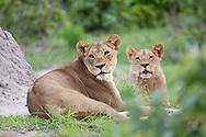 A couple of female lions (Panthera leo) in the Okavanga Delta region of Botswana.