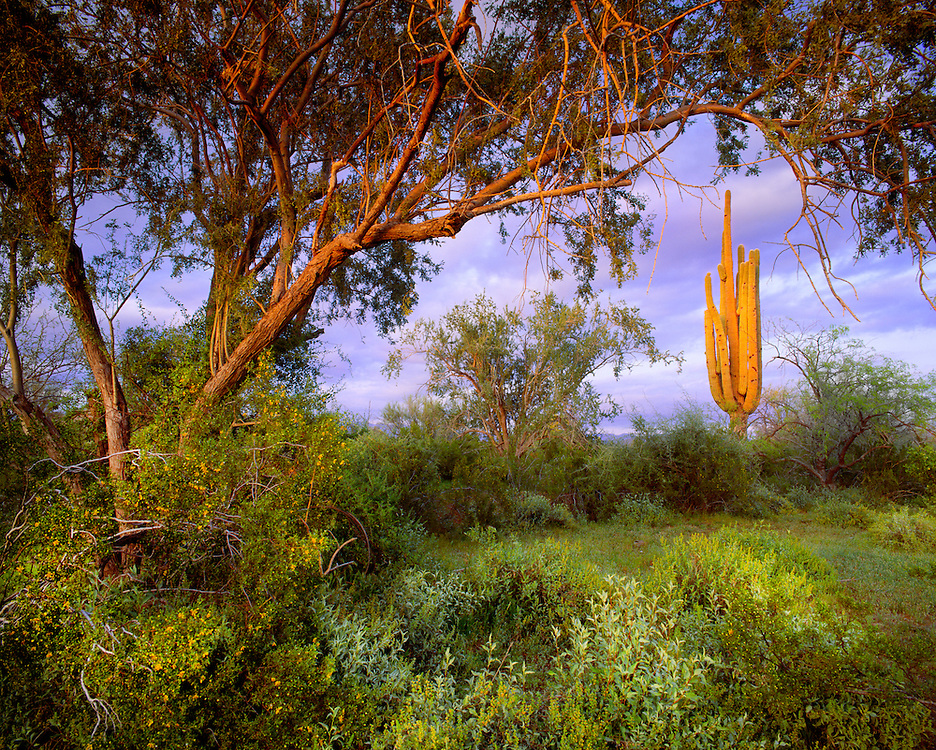 0122-1000 ~ Copyright:  George H. H. Huey ~ Saguaro cactus [Carnegiea gigantea], ironwood tree [Olneya tesota], and creosote bush [Larrea tridentata].  Ironwood Forest National Monument, Arizona.