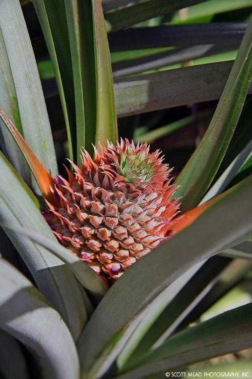 Baby Maui Gold Pineapple, Maui Pineapple Company field, Hailiimaile, Maui, Hawaii