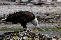 A majestic bald eagle stands guard over his prize as he feeds on the succulent remains of a crab at the beach.