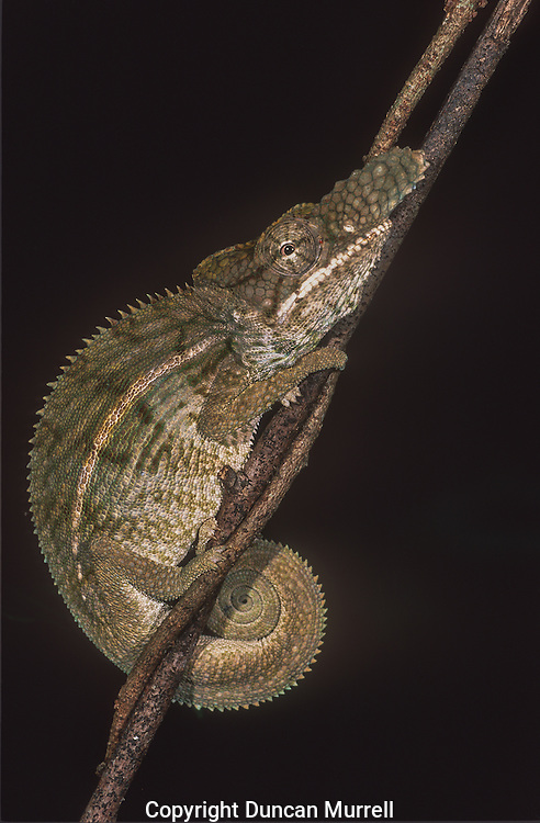 Madagascar is home to about half the world&rsquo;s chameleons, including both subfamilies, typical chameleons and dwarf chameleons (Brookesiinae). Chameleons are small to mid-size reptiles that are famous for their ability to dramatically change colours. Contrary to popular belief, they do not change colours to match their surroundings. Instead colour is usually used to convey emotions, defend territories, and communicate with mates. They have two layers of specialized cells that lie just beneath the lizard&rsquo;s transparent outer skin. The cells in the upper layer, called chromatophores, contain yellow and red pigments. Below them is another layer of cells called guanophores, containing the colourless crystalline substance guanin, which reflect the blue part of incidental light. If the upper layer of chromatophores is yellow, the reflected light becomes green (blue plus yellow). A layer of dark melanin containing melanophores is situated under the blue and white light-reflecting guanophores. These melanophores influence the lightness of the reflected light. All these different pigment cells can relocate their pigment, thereby influencing the colour of the light that is reflected.<br />