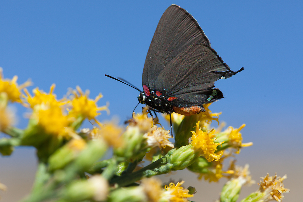Atlides halesus corcorani (Great Blue Hairstreak) at Bob's Gap, Los Angeles Co, CA, USA, on California broomsage 03-Oct-15